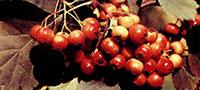 Боярышник кроваво-красный, сибирский